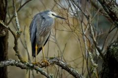 White-faced Heron (Image ID 46617)