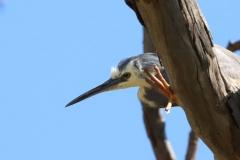 White-faced Heron (Image ID 46785)
