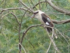 Laughing Kookaburra (Image ID 47123)