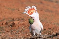 Major Mitchell's Cockatoo (Image ID 47161)