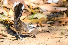 Grey-crowned Babbler (Image ID 47044)