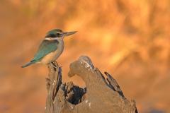 Sacred Kingfisher (Image ID 47245)