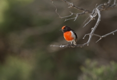 Red-capped Robin (Image ID 47167)