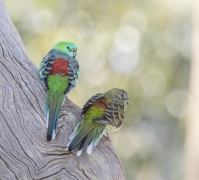 Red-rumped Parrot (Image ID 47096)