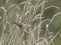 Red-browed Finch (Image ID 47048)