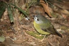 Pale-yellow Robin (Image ID 47106)