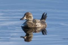 Blue-billed Duck (Image ID 47240)