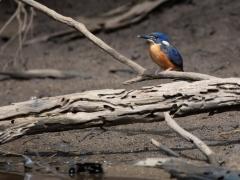 Azure Kingfisher (Image ID 46943)