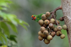 Double-eyed Fig-Parrot (Image ID 46890)