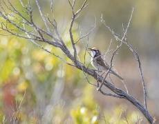 Tawny-crowned Honeyeater (Image ID 47249)