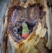 Australian King-Parrot (Image ID 47246)
