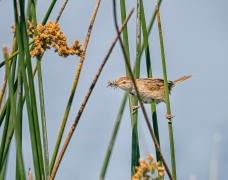 Little Grassbird (Image ID 47244)