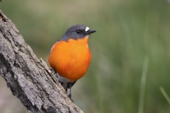 Flame Robin (Image ID 47211)