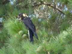 Yellow-tailed Black-Cockatoo (Image ID 46938)