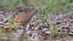 Chestnut-backed Button-quail (Image ID 47238)