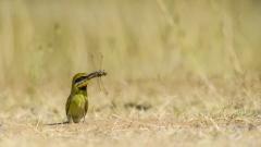 Rainbow Bee-eater (Image ID 47071)
