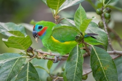 Double-eyed Fig-Parrot (Image ID 47231)