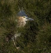 Nankeen Night-Heron (Image ID 47226)