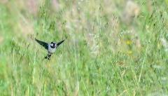 House Sparrow (Image ID 47218)