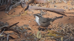 White-browed Babbler (Image ID 47120)