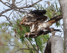 Wedge-tailed Eagle (Image ID 46981)