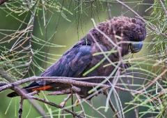Glossy Black-Cockatoo (Image ID 47115)