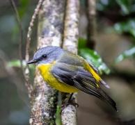 Eastern Yellow Robin (Image ID 47181)