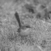 Superb Fairy-wren (Image ID 47090)