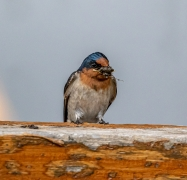 Welcome Swallow (Image ID 47183)