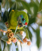 Double-eyed Fig-Parrot (Image ID 46974)