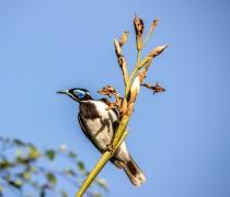 Blue-faced Honeyeater (Image ID 46975)