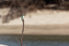 Sacred Kingfisher (Image ID 46910)
