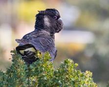 Carnaby's Black-Cockatoo (Image ID 47022)