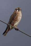 Brown Falcon (Image ID 47221)