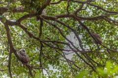 Powerful Owl (Image ID 47236)