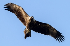 Wedge-tailed Eagle (Jo Malcomson)