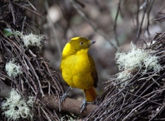 Golden Bowerbird (Robert Black)