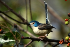 Lovely Fairy-wren (Paul Jensen)