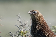 Pheasant Coucal (Image ID 19848)
