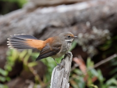 Rufous Fantail (Image ID 20021)