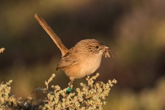 Thick-billed Grasswren (Image ID 20576)