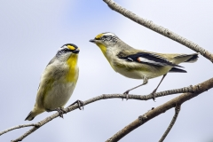 Striated Pardalote (Image ID 21166)