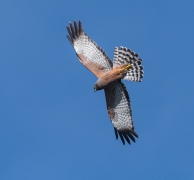 Spotted Harrier (Image ID 21638)