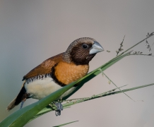 Chestnut-breasted Mannikin (Image ID 21651)