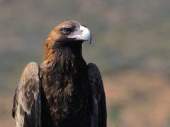 Wedge-tailed Eagle (Image ID 21590)