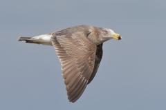 Pacific Gull (Image ID 21685)