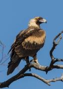 Wedge-tailed Eagle (Image ID 21926)