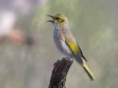 Yellow-plumed Honeyeater (Image ID 23059)