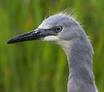 White-faced Heron (Image ID 22974)