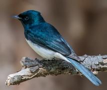 Satin Flycatcher (Image ID 22908)